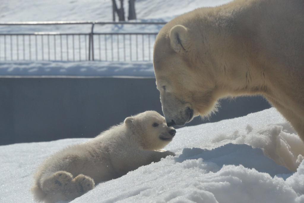 【円山動物園】お待たせしました。4月1日からホッキョクグマの赤ちゃんの一般公開が始まります。http://t.co/XblI16Mp2e http://t.co/cbwR0v9R1S