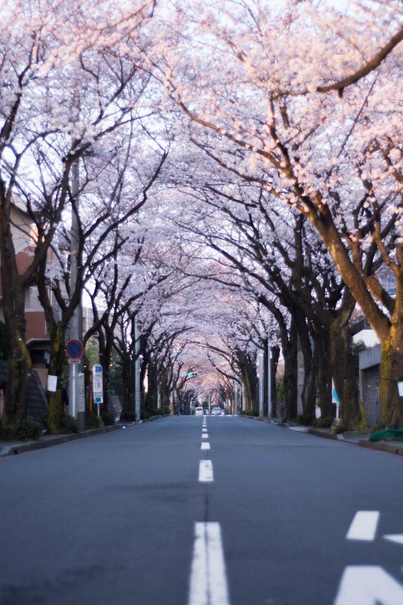 あざみ野桜通り 朝の桜撮影 #押忍カメラ部 #桜写真 http://t.co/jofHyrQHma