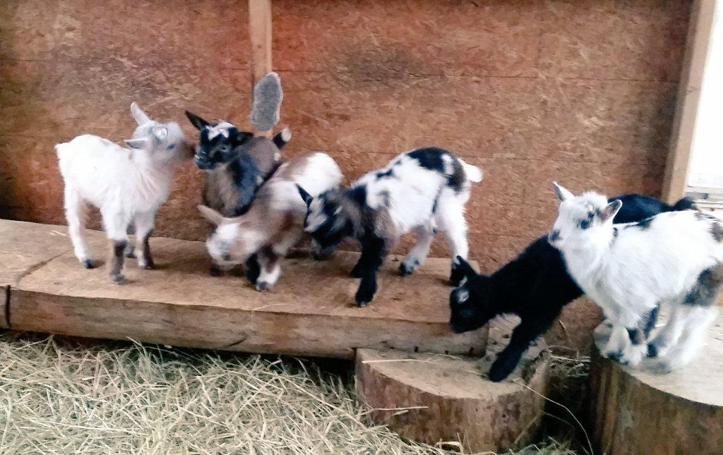 """Wendy Almeida on Twitter: """"Lots of crazy baby goats ..."""