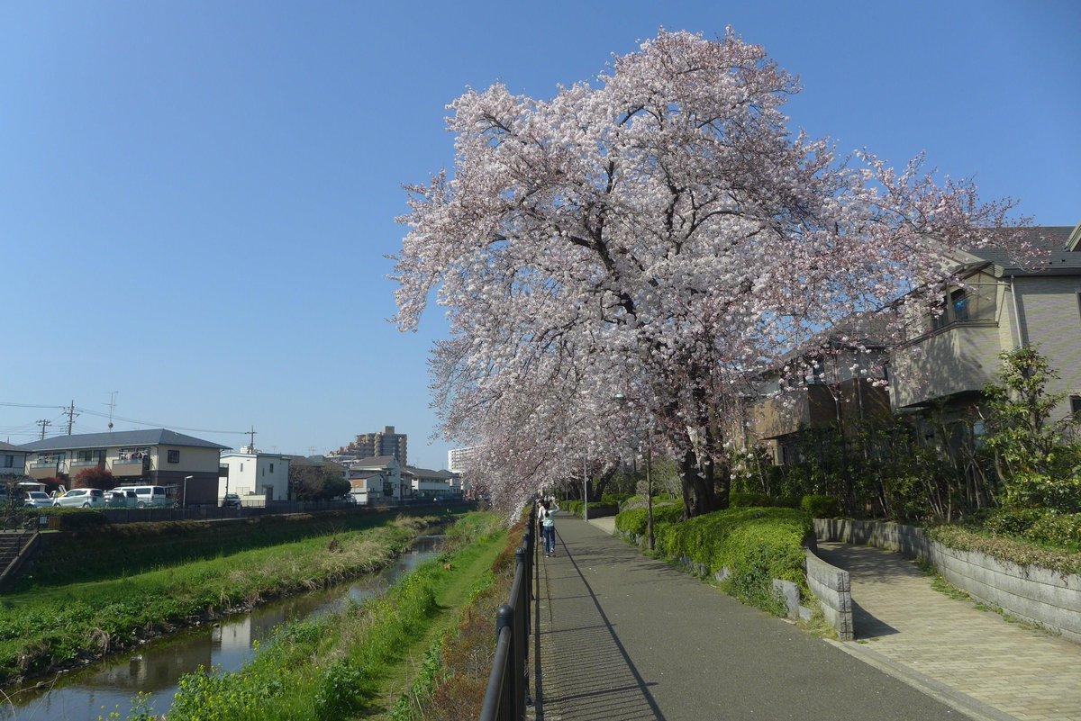 野川の桜が満開になりました。気になるのは野川のライトアップがいつ行われるかです。 http://t.co/8ES1JZAdo1