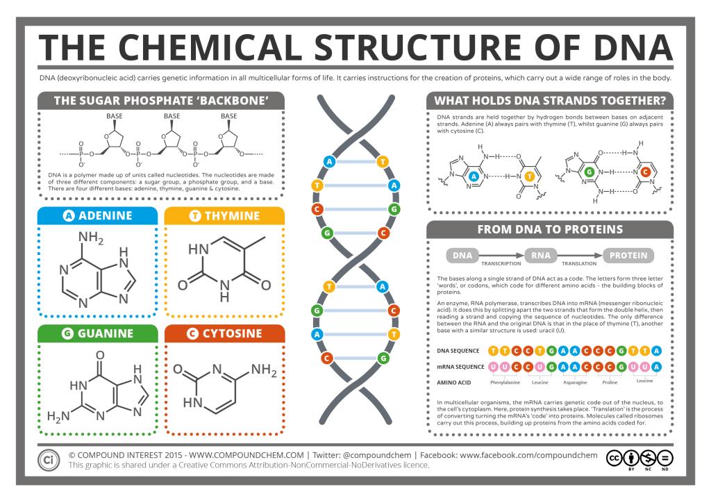 Estructura Química Del Adn Función En Creación Proteínas