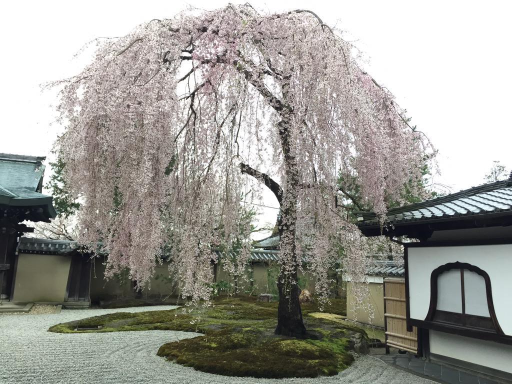 高台寺枝垂れ桜♪ http://t.co/rKAn9lNfqU