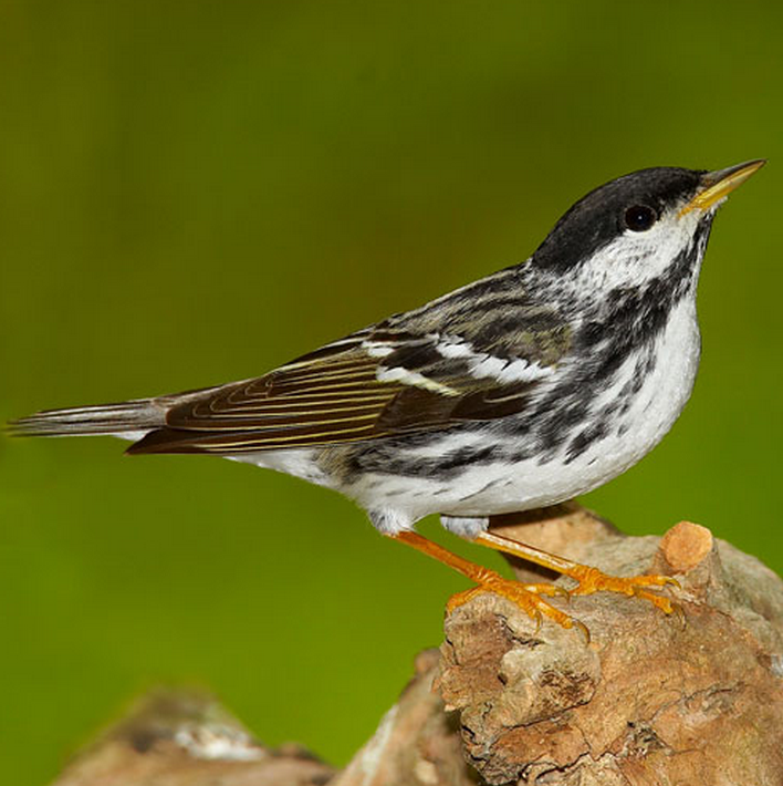 Read about the transoceanic migration by a 12g #songbird that we helped research! http://t.co/90cTgXOD3U #ornithology http://t.co/gqhlSFuIMm