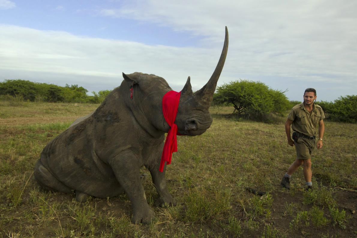 Largest #Rhino Airlift Ever to Move 100 At-Risk Animals - http://t.co/ThtEPSjlL9 #wildlife #africa #poaching http://t.co/iWmTatPG0k