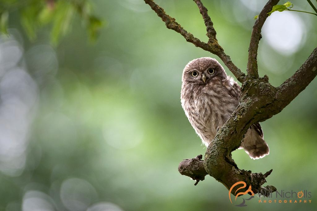 A gorgeous juvenile little owl in Northumberland. (cc @wildlife_uk @BBCSpringwatch) http://t.co/zABj8m2x6B