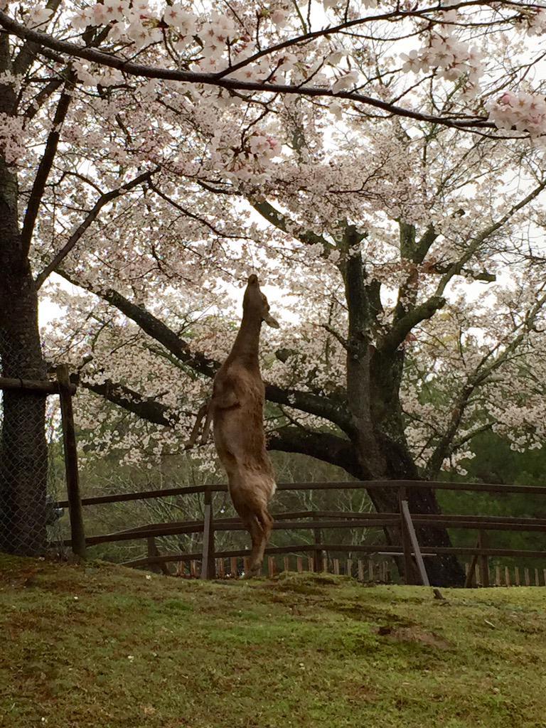 東大寺境内。今日4月1日。鹿が必死になって桜の花びらをもぎ取り、食べていました。美味しいのかな。もぐもぐ。 #奈良 #nara pic.twitter.com/x8cPPobjxG