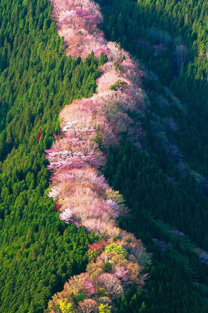 منظر جميل لـ أشجار الكرز البري في اليابان. ممشى خطير