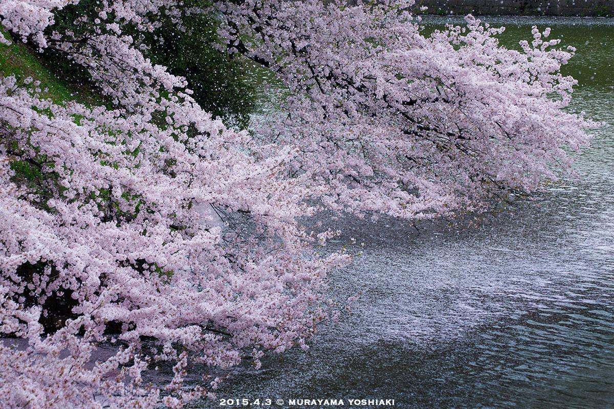 今朝の千鳥ヶ淵。桜吹雪が圧巻でした。 pic.twitter.com/aW9zgfH2ui