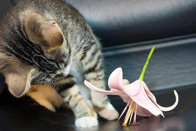 Cat owners: Keep lilies well away from cats as the pollen is extremely toxic pls call vet if worried #EasterPetTips http://t.co/9lRaKxyBiB