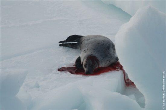 Help End Canada's Baby-Seal Slaughter http://t.co/6HMKXQ5QCl http://t.co/Y3xpgsuIBG