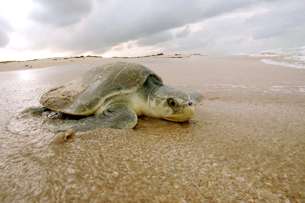 Five years after the Deepwater Horizon oil spill, endangered sea turtles are slow to recover http://t.co/1BRTBuLCD7