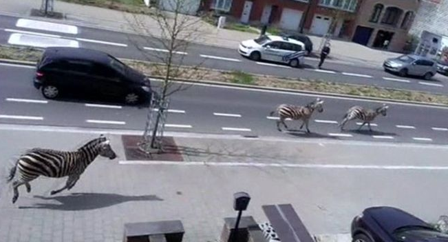 """@Telegraph: Zebras on the loose: Trio go on the run from police in Brussels http://t.co/nLPqSfjpTZ http://t.co/XFZA8PSSbR"" I hate zebras."