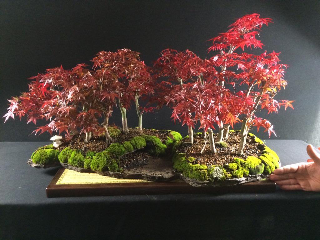 Bonsais La Perla On Twitter Bonito Bosque De Acer Palmatum