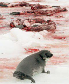Worldwide bans on Canada's #sealhunt .Customers gone..YET IT CONTINUES.Meat dumped,pelts stockpiled,taxpayers expense http://t.co/vLl6QdFkgE