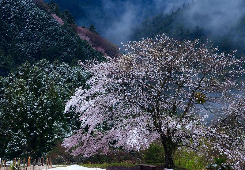 雪化粧の一本桜。(本日埼玉県西部で撮影) pic.twitter.com/tWWICpD7EH