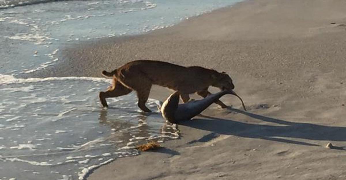 #Badass -> Florida bobcat snatched a shark out of the ocean like it was nothing http://t.co/vBi9JvWZtm by @mashable http://t.co/EkeICtXN6P