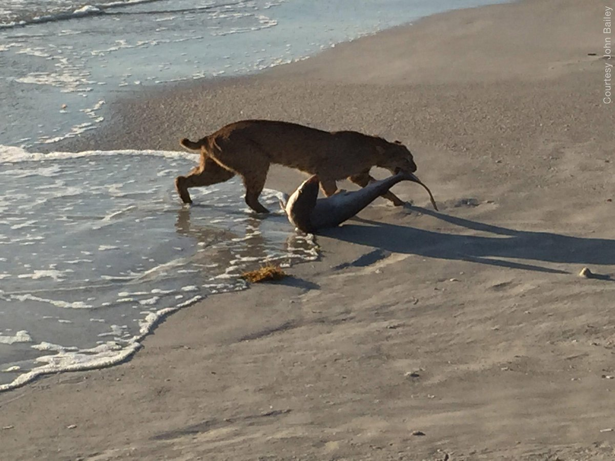 What a catch! A bobcat pulled a shark from the ocean, and a photographer captured the scene: http://t.co/tF4LmbdTm6