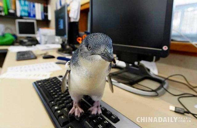 【画像】キーボードの上をよちよち歩きするペンギンの赤ちゃん。オーストラリアの動物園aqua2ch.net/archives/43548…ウ、ウワァ!!!     ∧∧    ヽ(◜௰◝ )/ \( \ ノ#可愛すぎて尻もちついた pic.twitter.com/6uiUVS2sqW