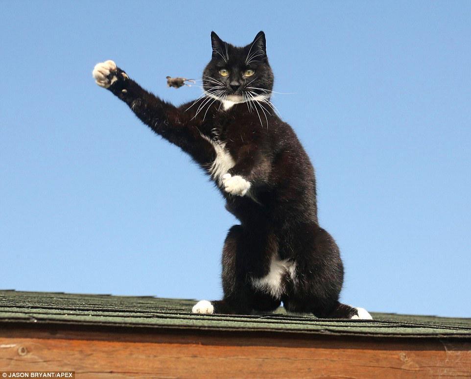 英国・サマセット州のシェプトンマレットで撮影された屋根の上でネズミを捕まえようと奮闘するネコの姿が、まるでトムとジェリーのようだと話題に完全に手玉に取られてる風^^ pic.twitter.com/54xPAiOKqP