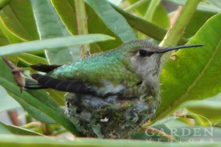 Our #garden resident #hummingbird finished her nest & laid her first egg today. #birds #gardenchat #wildlife #nature http://t.co/qxrcQnSmxy