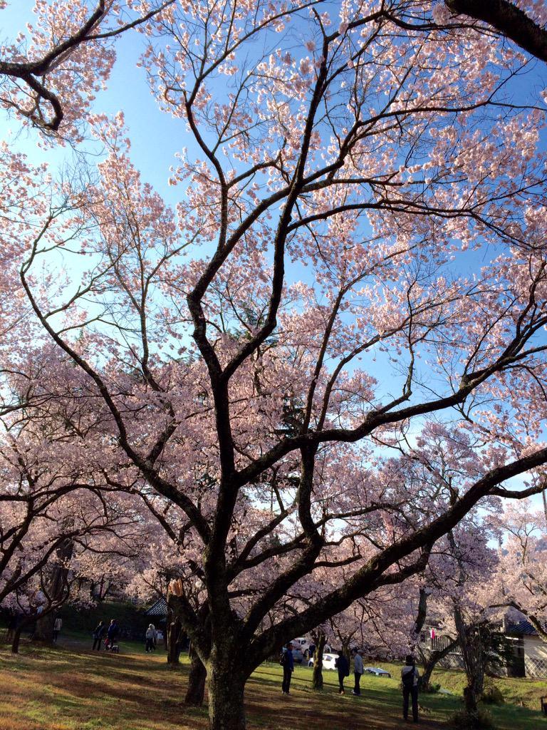 高遠城址公園の桜です 薄紫ピンクかなぁ http://t.co/DNiDe1XqBS