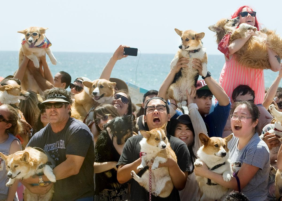 Hundreds of corgis hit the sand for Corgi Beach Day in Huntington Beach http://t.co/yW5JVF9Iiy http://t.co/ThlnHoUQCj