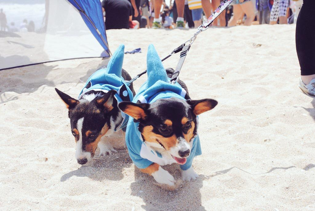 Corgi Beach Day is a great idea🐶 http://t.co/57XvKI7nsq