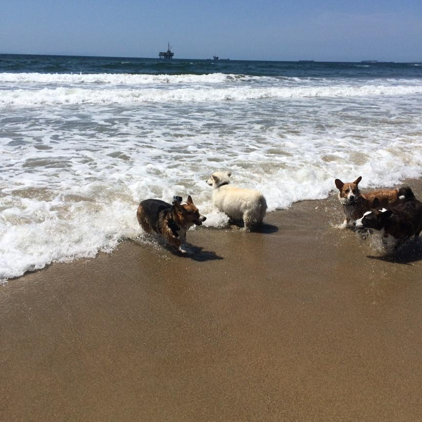 KTLA just announced 634 pups at SoCal Corgi Beach Day today in Huntington Beach. Great time had by all. Next one 7/11 http://t.co/Ki7Ubr4baI
