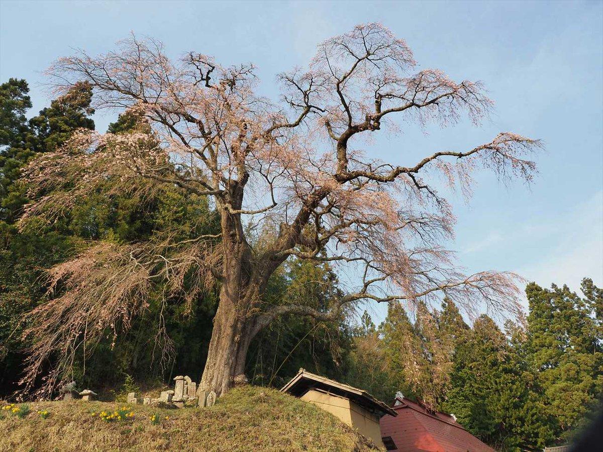鮫川村も桜の季節。