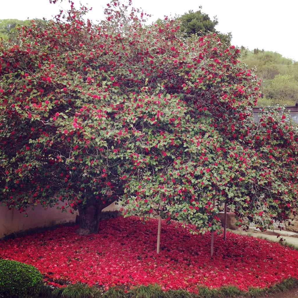 岡山県矢掛町、圀勝寺の大椿落ちた椿が地面を深紅に染める pic.twitter.com/f6bFWbuHVW