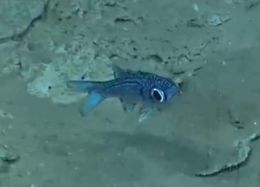 A very cute and ecto-parasite free deepwater cardinal #fish (Genus Epigonus) #okeanos http://t.co/uWSHSvPoLV