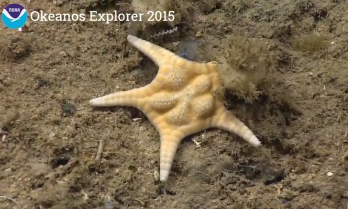 Great shot of sea star showing texture #Okeanos (@echinoblog says it's Nymphaster arenatus) http://t.co/M74OolAn5x