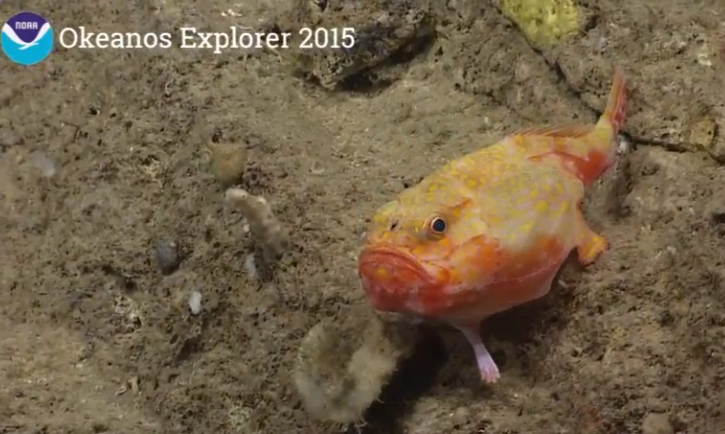 Cranky fish was actually walking on its fins before swimming off (pls post video clip!) #Okeanos ~470m http://t.co/6nRW98cMVW