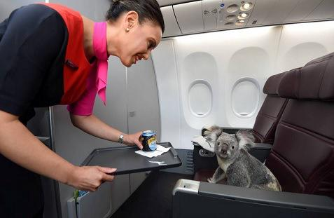 Koala flies @Qantas and is presented with mini can of soda water: http://t.co/R56JWzOnL8