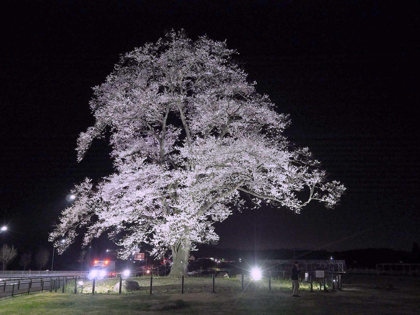 道の駅あだちの万燈桜を上り線から見にいく。