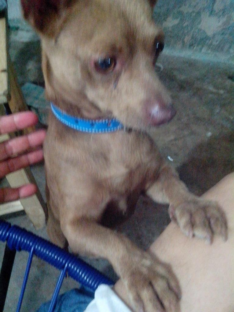 Encontraron perrito tipo chihuahua color café,se ve de casa. Calle Ana Cristina Peláez Frac. Villa Rica.100 77 89 RT! http://t.co/lEcvn2mMZG