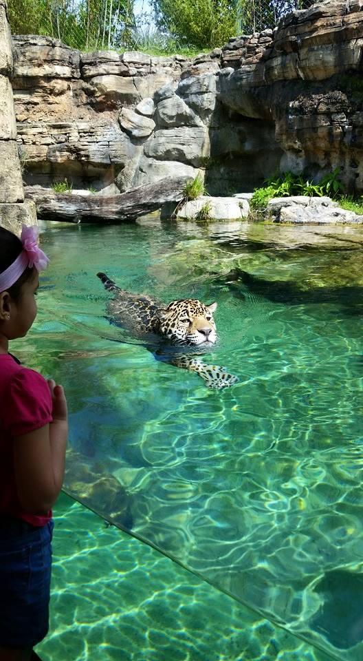 @Jaguars & @EverBankField We think Khan the #jaguar would be right at home in the pools! http://t.co/1IBfkXkeN1