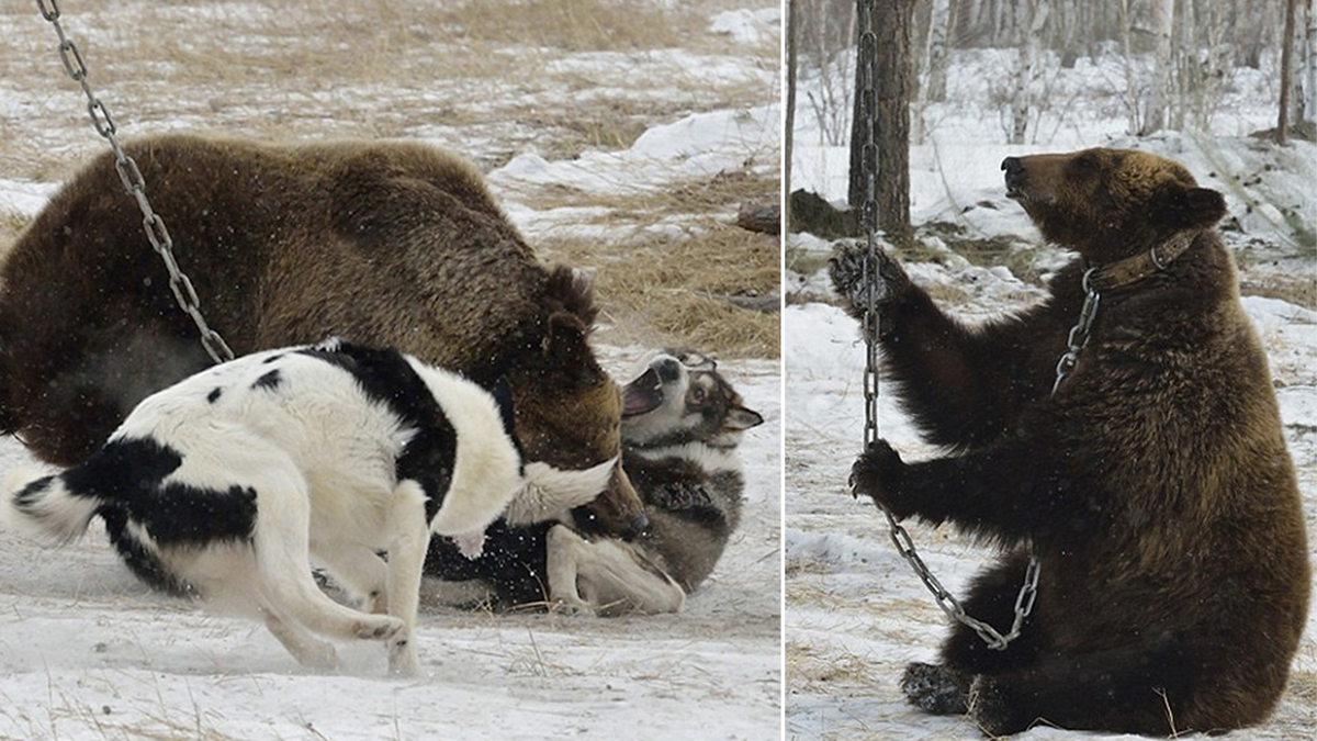 Young bear chained to tree as it is attacked by dogs! Stop baiting contests in Russia! Sign! http://t.co/b5O3o5cw7g … http://t.co/aKJNYIwNxm