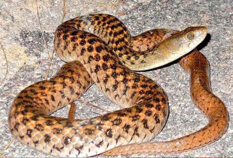 Snake which was killed for making NaMo shawl. http://t.co/P4OXZPtuZu