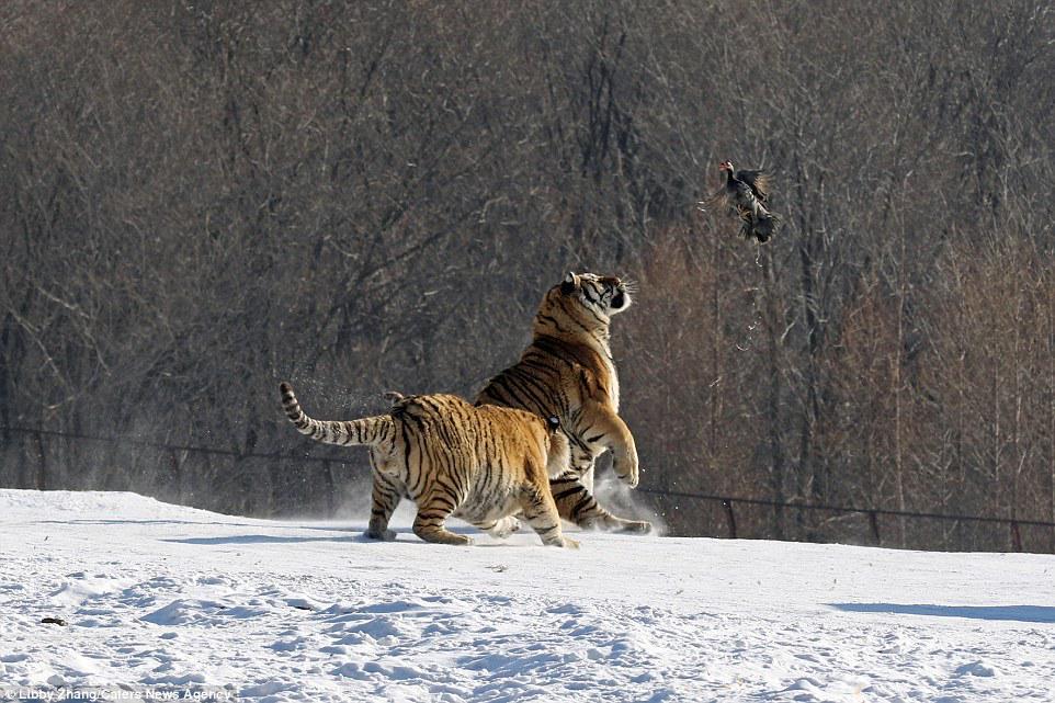 「餌を取ろうとしてコケる虎」はこうやってコケたのか(笑)ズコーーーッ pic.twitter.com/ygWisnU3Id
