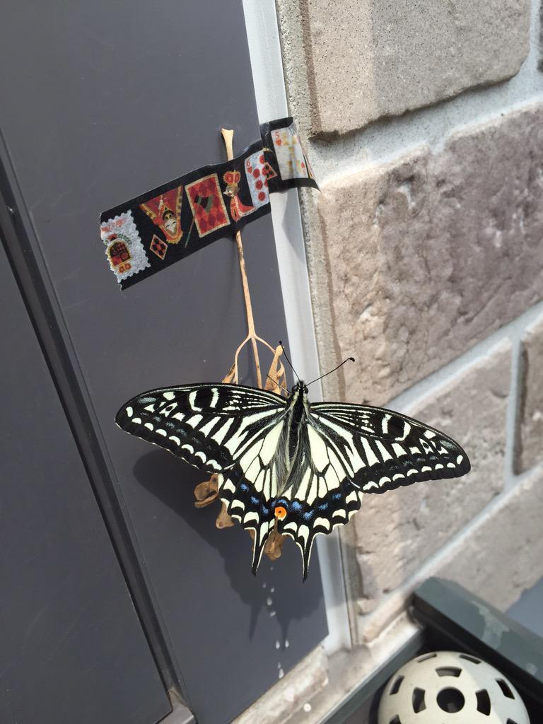 去年の秋に青虫にプランター喰い散らかされて、残骸を処分しようとしたら枝にサナギがくっついていたので、せっかくサナギまでなったならな…と情けをかけて、ベランダにマステに枝を貼り付けておいたところ、今朝方羽化したようです http://t.co/ZyC16sD7st
