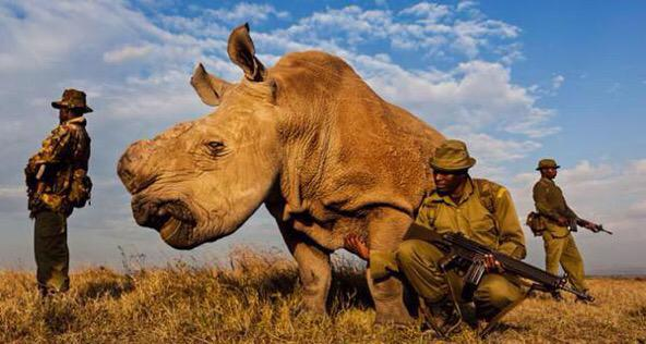 RT @RealTouchingPic: Armed guards in Sudan protect the last male northern white rhino on earth. His species survived for 50 million years h…