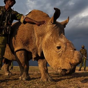 Sudan. He's the last known male northern white rhino left in the entire world💔💔💔  #NorthernWhiteRhino #Kenya http://t.co/d78JhHVstx