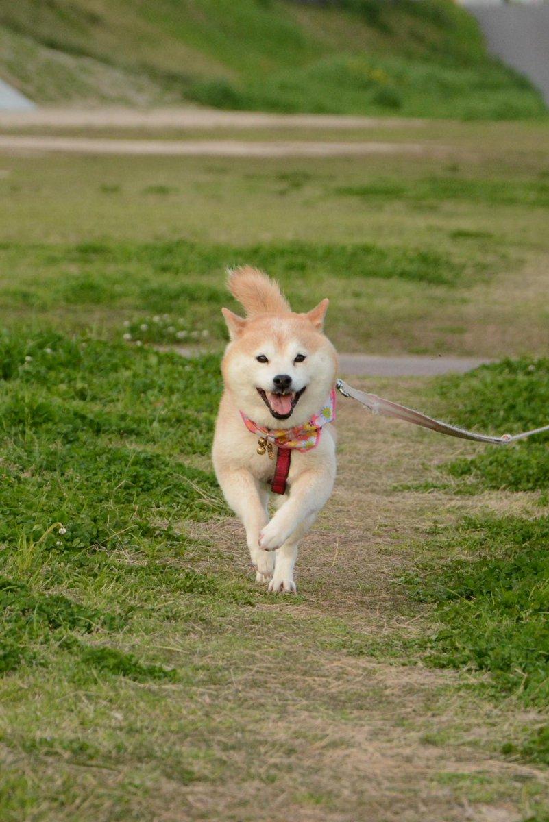 柴子(仮名)、今日も楽しそうに走って来たw(*^_^*)  #柴犬 #しばいぬ http://t.co/k047UowxHC