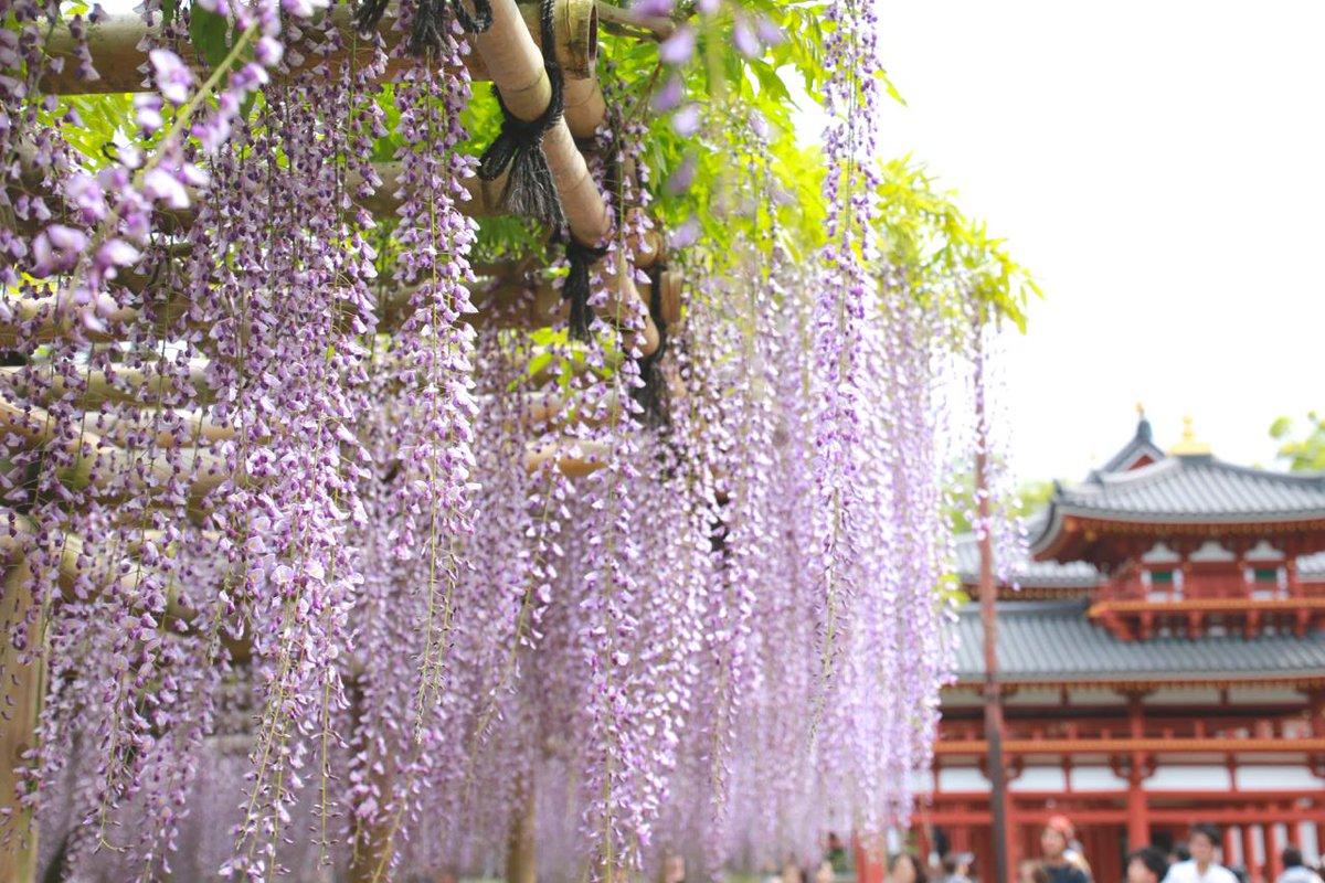 平等院の藤の花が見頃を迎えています。一輪一輪は蝶のような形をしたごく小さな花が房となりしだれる様子は、なんとも妖艶で美しい。 http://t.co/0R7gV7BP9h