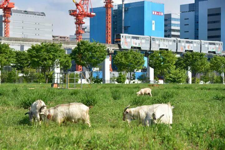 【立川駅北口でヤギが活躍中】立川駅北口、サンサンロード横の立飛ホールディングスの所有地でヤギとヒツジを放し飼いにしています。これは、動物たちに雑草を食べてもらい、繁茂するのを防ぐもので、雑草の伸びる季節に向けて活躍が期待されています。 pic.twitter.com/czjfujgxrc