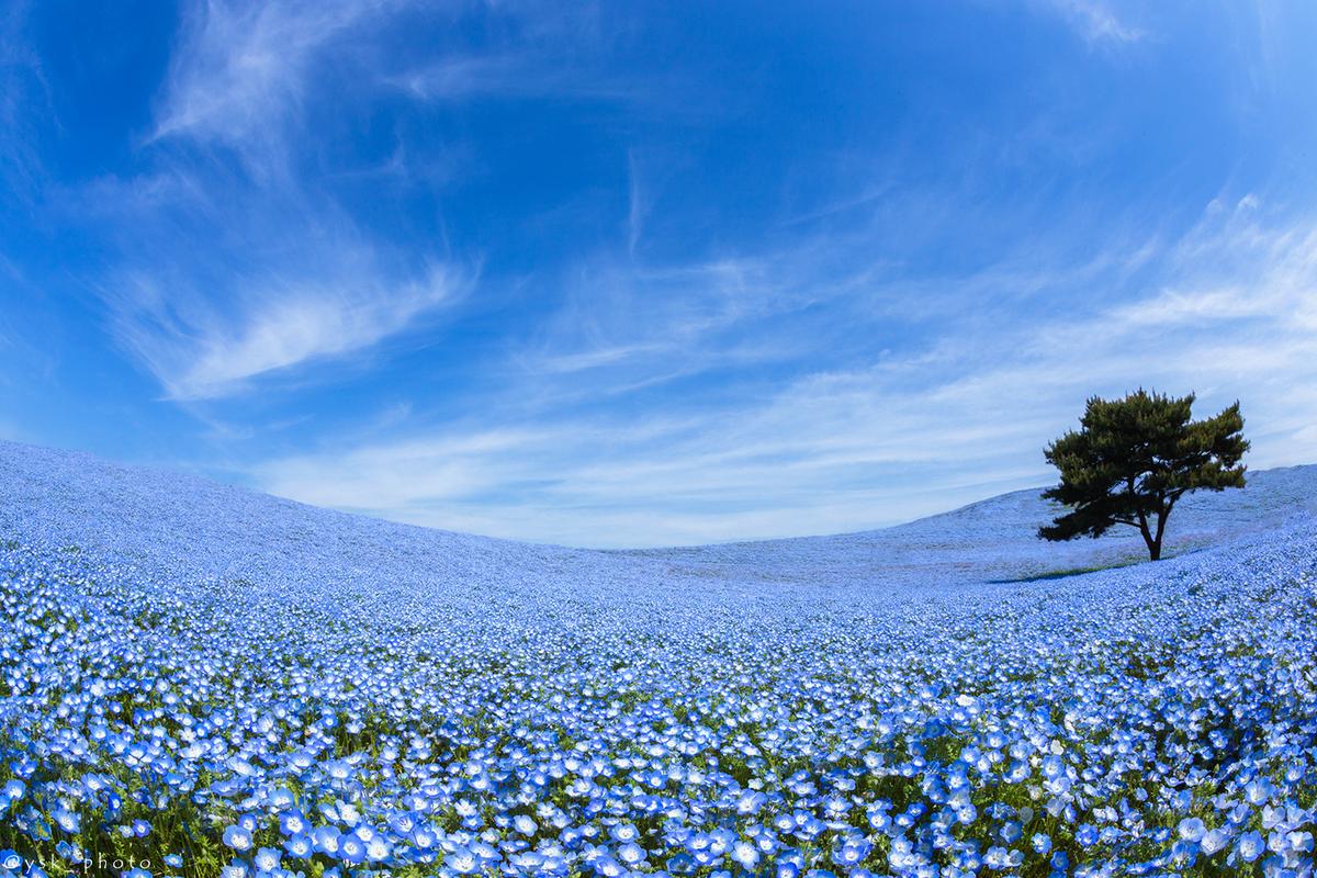 『ひたち海浜公園 ネモフィラ(茨城県)』 昨日撮影したネモフィラです!当日は自分のイメージ通りの雲が現れ、終始興奮しながら撮影していました。約450万本にも及ぶ透き通った青色のネモフィラは、見る者すべてに感動を与えます。 #ネモフィラ