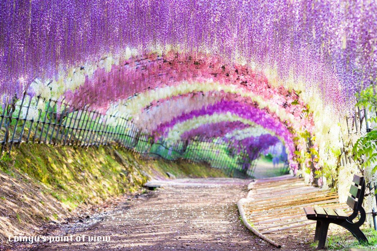 「不思議の国への通り道」  2015/5/1 福岡県北九州市 河内藤園にて撮影。  近年世界の絶景として注目を浴びているこの場所。去年知った瞬間、来年絶対行こうと思っていました。はるばる三重県から行った甲斐があります。 http://t.co/wboHosUuED