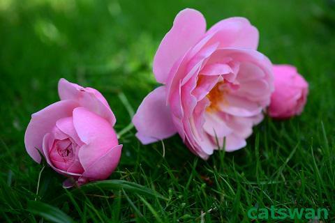 写真、イラスト、動画素材 PIXTA こてちゃい   #猫 #photo #花 #鳥 #flower #image