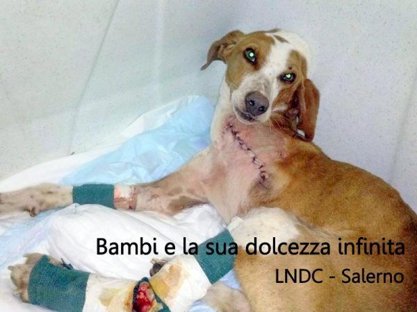 SALERNO: LA TOCCANTE STORIA DI BAMBI,CANE FERITO NEL CORPO E NELL'ANIMA http://www.all4animals.it/2015/04/30/salerno-la-toccante-storia-di-bambi-il-cane-ferito-nel-corpo-e-nellanima/… #URGEADOZIONEdelCUORE pic.twitter.com/oG24LcnM0p